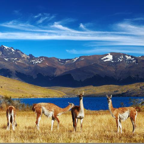 Die beste Aussicht der Welt haben diese Guanakos vor der Laguna Azul mit Blick auf die drei Granitnadeln der Torres del Paine, Chile