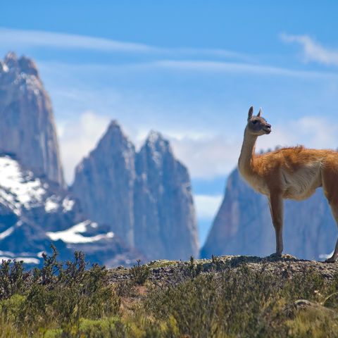 Guanako auf einem Berg im Torres del Paine Nationalpark, Chile