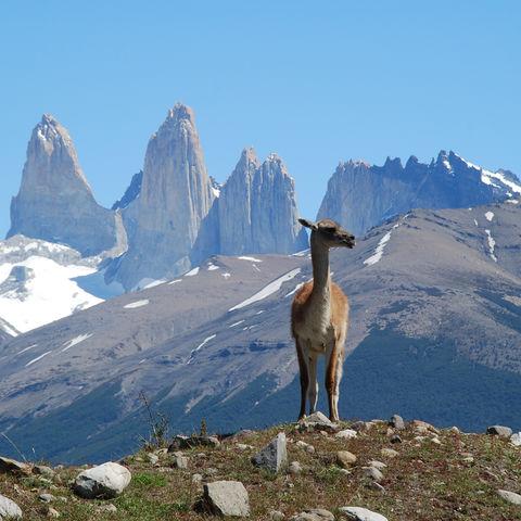 Guanako im Torres del Paine Nationalpark, Chile