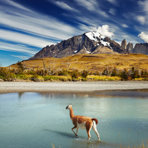 Guanako im Torres del Paine Nationalpark, Chile