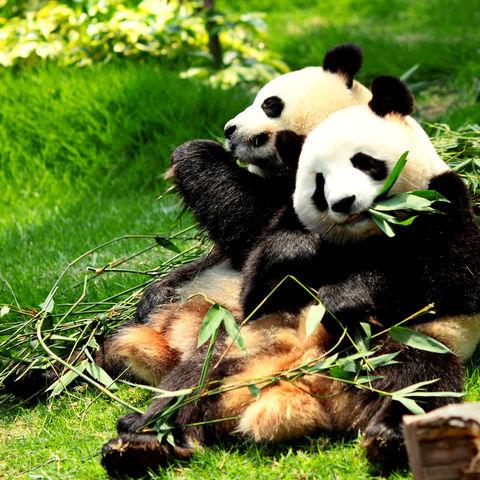 Hmm lecker! Zwei Pandas beim Speisen, China