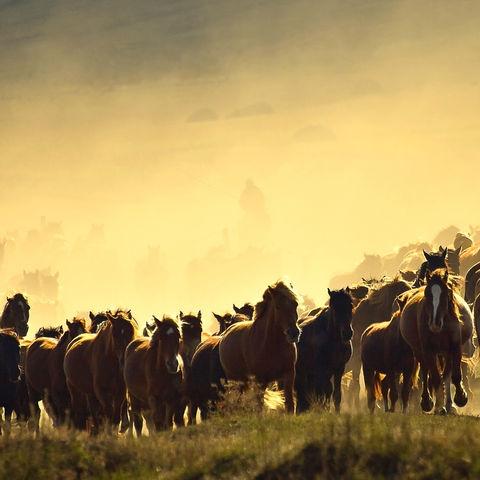 Pferde traben durch das Grasland der Inneren Mongolei, China