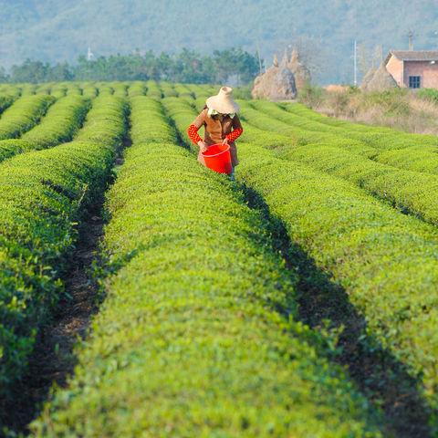 Teepflückerin in den Teefeldern von Jiangxi, China