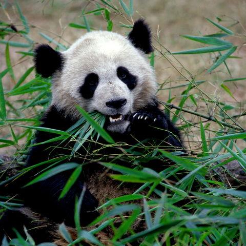 Panda © FVA China