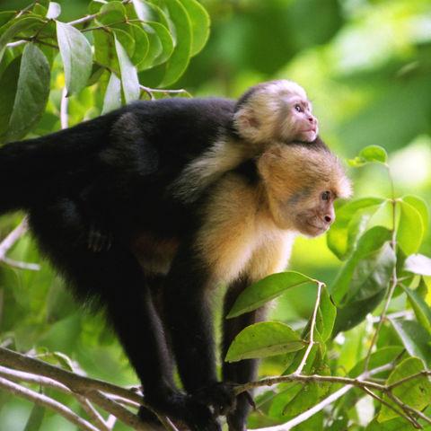 Affenmutter mit ihrem Jungen © Thinkstock, iStockphoto