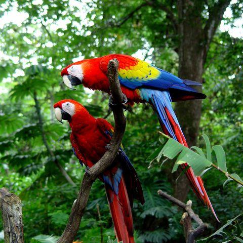 Rote Aras, Costa Rica