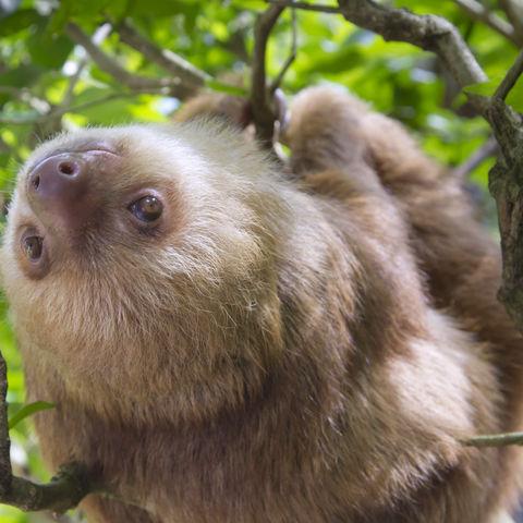 Ein im Baum hängendes Faultier, Costa Rica