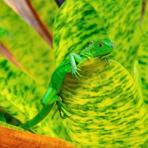 Junger grüner Leguan, Costa Rica