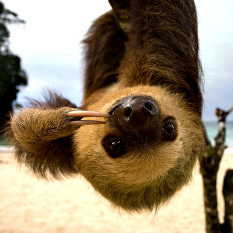 Süßes Faultier im Cahuita-Nationalpark, Costa Rica