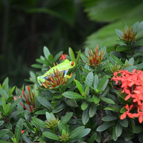 Rotaugenlaubfrosch, Costa Rica