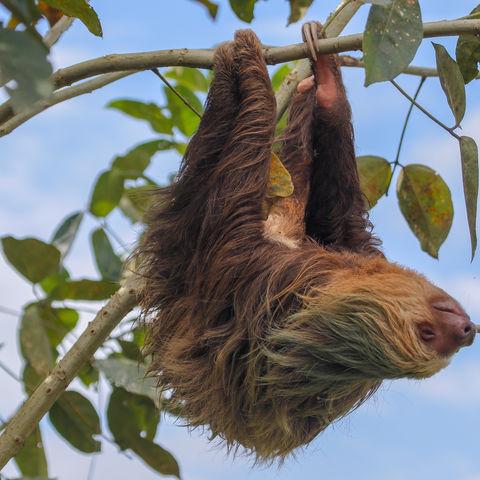 Zweifinger Faultier, Costa Rica