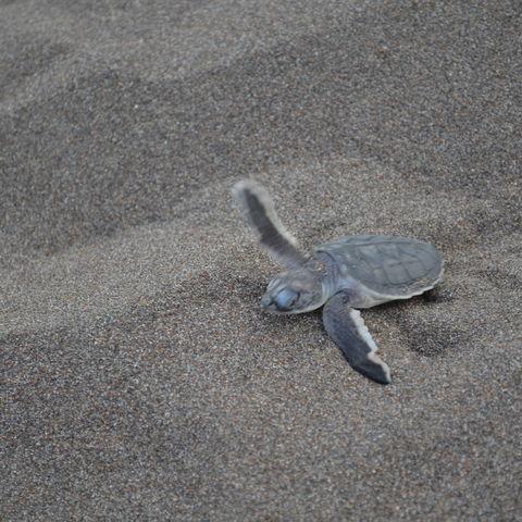 Frisch geschlüpftes Schildkrötenbaby auf dem Weg ins Meer, Costa Rica