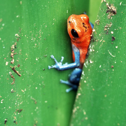 Exotischer Giftfrosch, Costa Rica