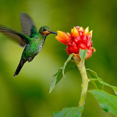 Grüner Kolibri an einer Blüte, Costa Rica