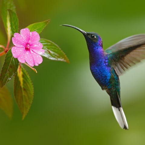 Ein Kolibri auf Nahrungssuche, Costa Rica