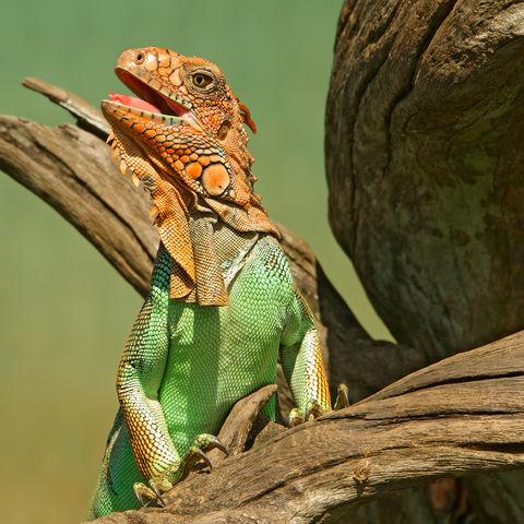 Majestätischer Leguan, Costa Rica