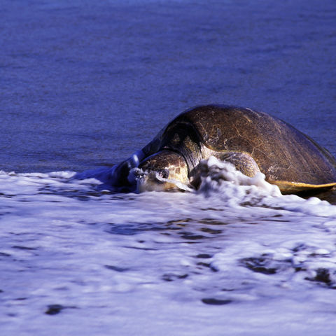 Meeresschildkröte am Strand im Wasser, Costa Rica