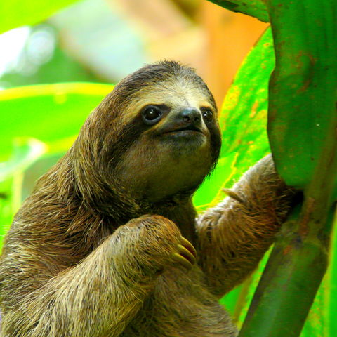 Neugieriges Dreifingerfaultier, Costa Rica