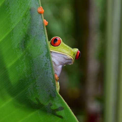Rotäugiger Baumfrosch, Costa Rica