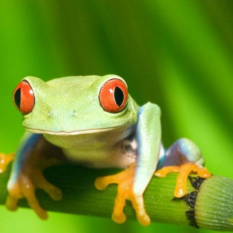 Schau mir in die Augen, Kleines!... Ein Rotaugenlaubfrosch, Costa Rica
