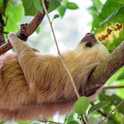 Deine Ruhe möchte ich haben!, Faultier, Costa Rica