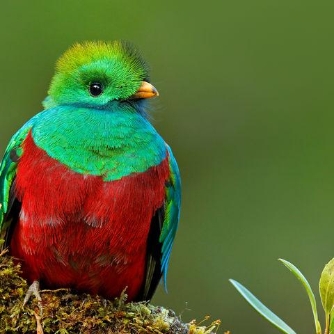 Der sagenumwobene Quetzal, Costa Rica