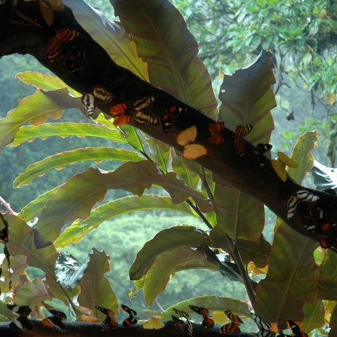 Unzählige Schmetterlinge auf Baumstamm, Costa Rica
