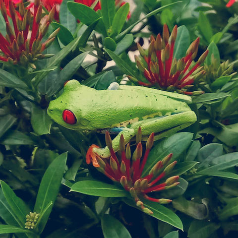 Rotaugenlaubfrosch auf einem blühenden Strauch, Costa Rica