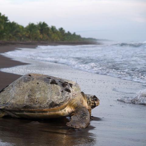 Meeresschildkröte auf dem Rückweg ins Meer... Gute Reise!, Costa Rica