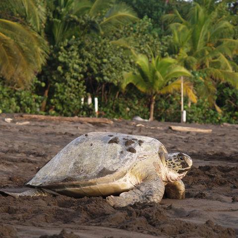 Meeresschildkröte im Tortuguero-Nationalpark, Costa Rica