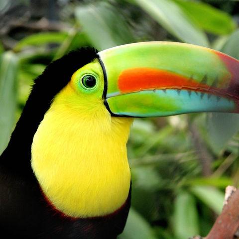Strahlender Tukan, Costa Rica