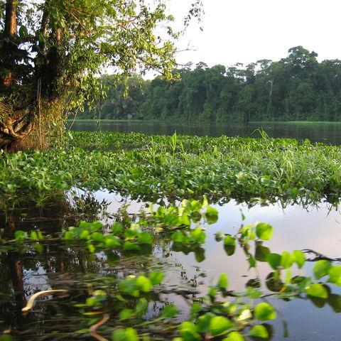 Wasserlilien, Costa Rica