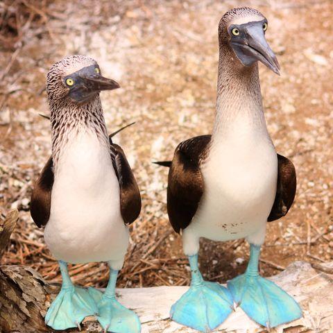 Blaufußtölpel auf den Galapagos Inseln © Ibrahim Abdulrazzaq, Dreamstime.com