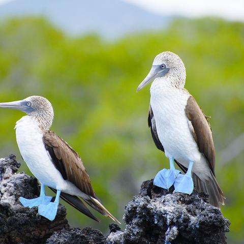 Ohne die Füße ins Farbfass getüncht zu haben: Blaufußtölpel auf den Galápagos, Ecuador
