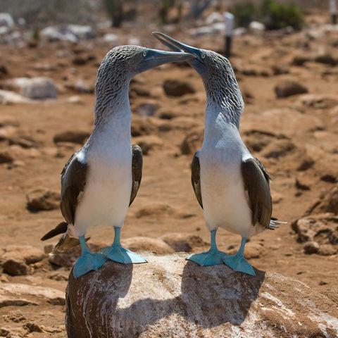 Blaufußtölpelpärchen, Ecuador
