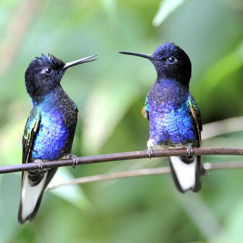 Zwei farbig leuchtende Kolibri in einem Nationalpark, Ecuador