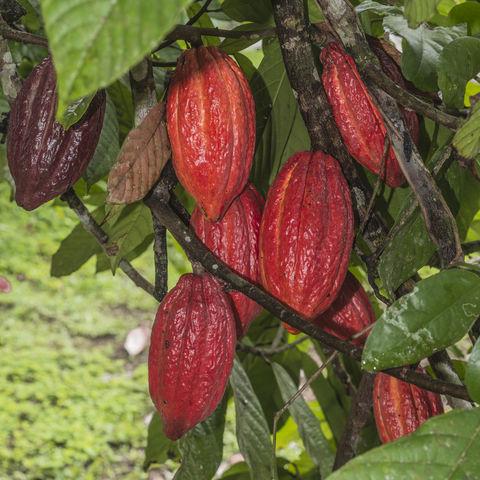 Kakaofrüchte auf einer Plantage, Ecuador