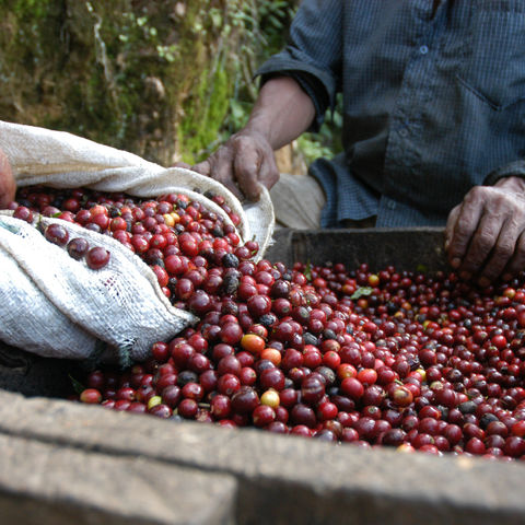 Einmal bei der Kaffeeernte zuschauen..., Guatemala