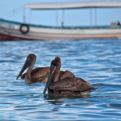 Pelikane in Livingston, Guatemala