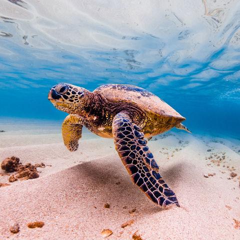 Grüne Meeresschildkröte, Hawaii