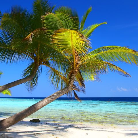 Bilderbuch-Strand mit hängenden Palmen, Hawaii