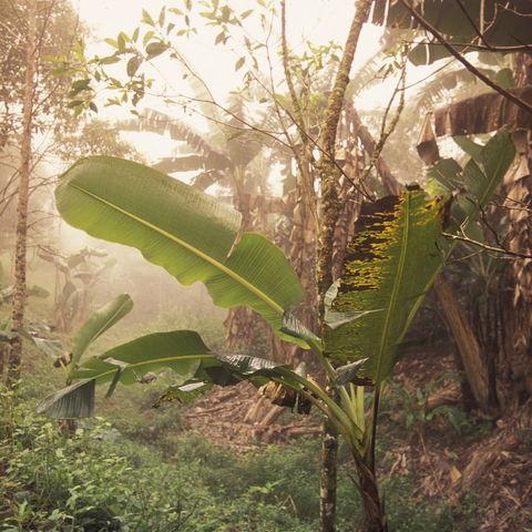 Durch Palmenwälder und Kaffeeplantagen in der Nähe von Copán, Honduras