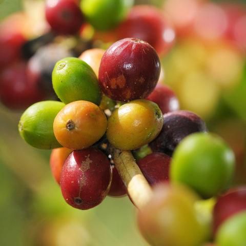 Jede Menge Arabica-Kaffeebohnen, Honduras