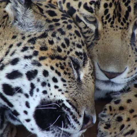 Stört uns nicht!, Jaguarpärchen, Santa Cruz de Yojoa, Honduras