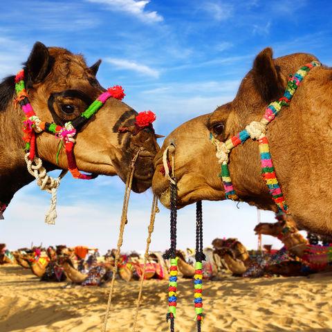 Kamelfestival in Bikaner © Plotnikov, Dreamstime.com