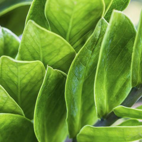 Teepflanze, Indien
