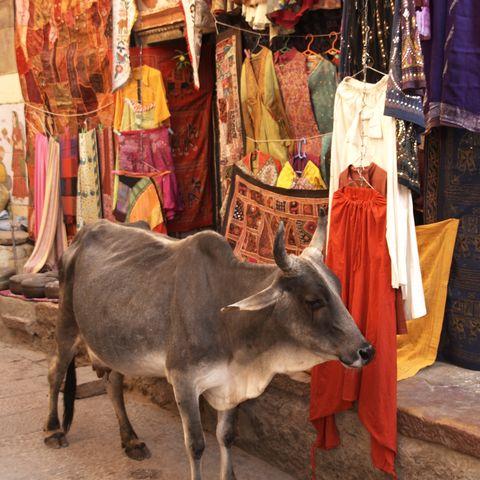 Kuh auf bunter Jaisalmer Straße, Indien