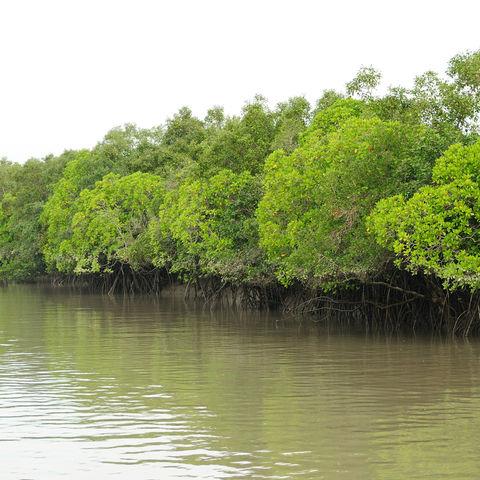 Mangrovenwald, Indien