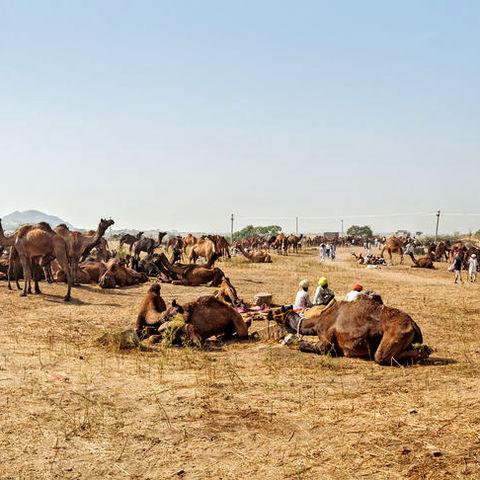 Ruhende Kamele bei Pushkar Mela © Dmitry Rukhlenko, Dreamstime.com