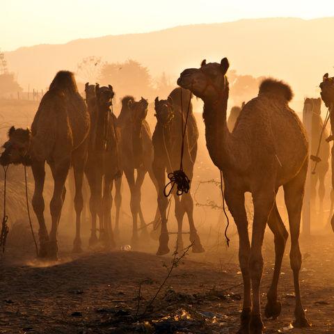 Kamele beim Pushkar-Festival, Indien